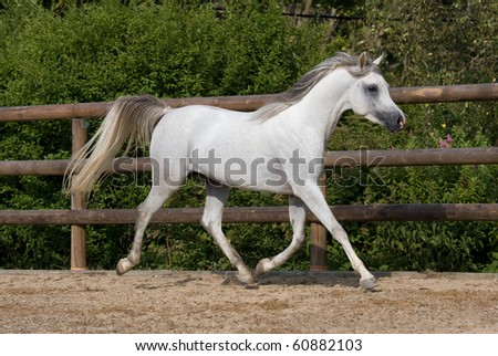 Nice white arabian horse running - stock photo