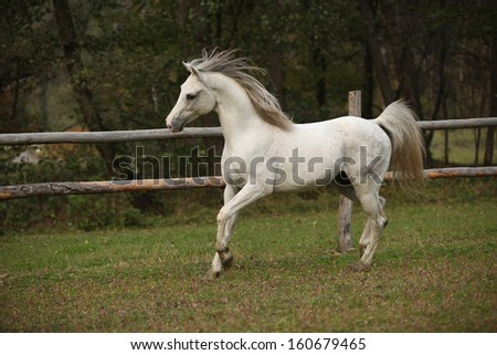 Nice white arabian stallion with flying mane running on pasturage