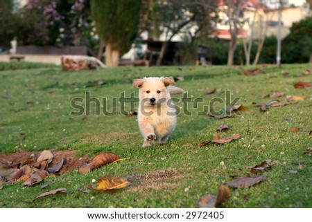 nice white bear dog playing on grass