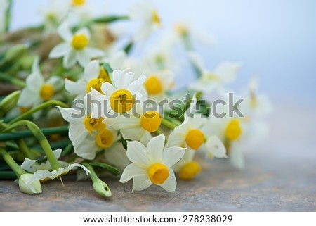 Nice white daffodil in bright blurry background in early spring, maltese daffodil, narcis, blossom daffodils on a natural background, Mothers day - stock photo