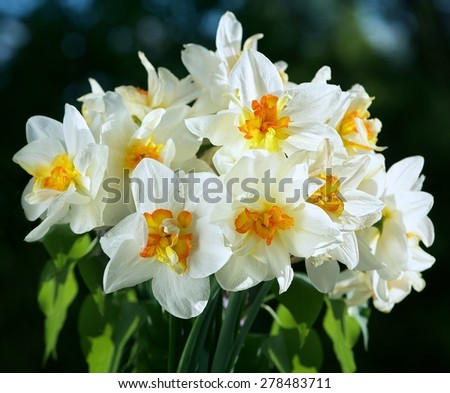 Nice white daffodil in dark blurry bokehbackground in early spring, daffodil, narcis, blossom daffodils on a natural background - stock photo