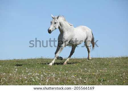 Nice white horse running on pasturage in summer