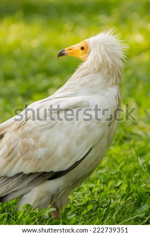 Nice white vulture (Neophron percnopterus) on a grass. - stock photo