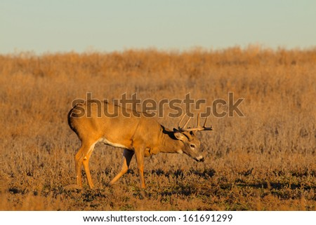 Nice Whitetail Buck Deer