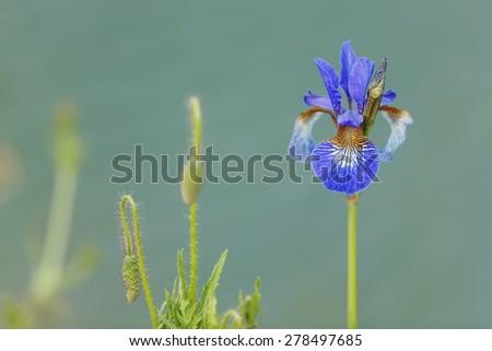 nice wild iris - stock photo