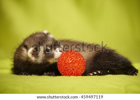 Nice young baby ferret portrait with red toy in studio - stock photo