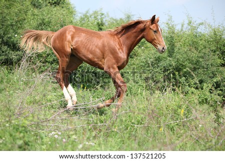 Nice young chestnut horse running downhill