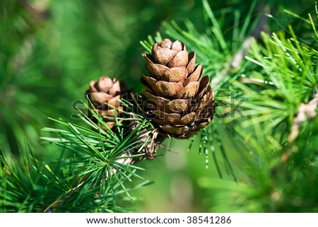 Nice young cones on a pine