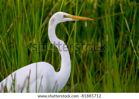 nicely posed great egret in florida wetland grassy reeds