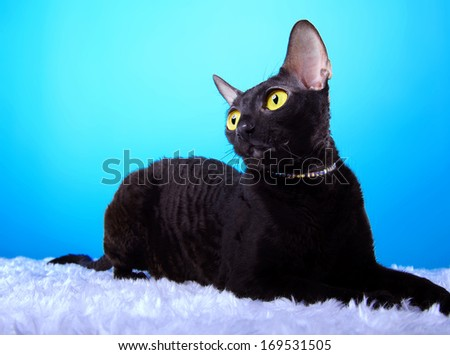Nicie black cat with big yellow eyes is isolated on a blue  - stock photo