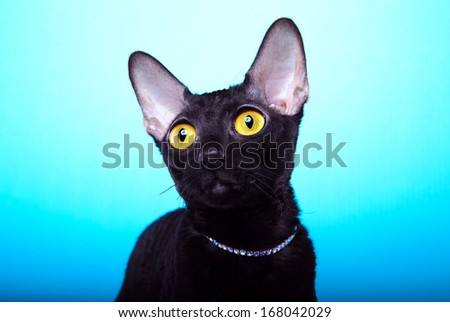 Nicie black cat with big yellow eyes is isolated on a blue background.