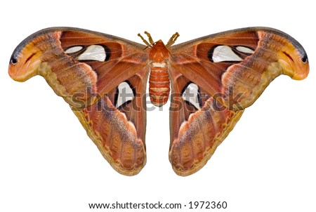 night Atlas moth (Attacus) isolated on white background - stock photo