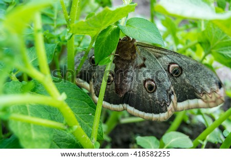 night butterfly on potato leaves