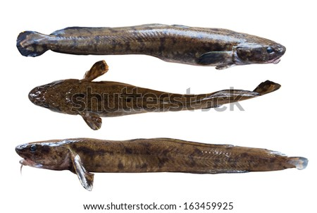 Night freshwater predator eelpout on white background