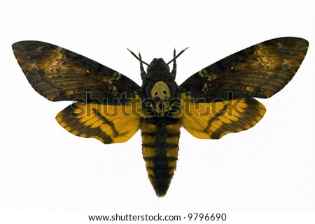 """Night hawk moth from picture """"Silence of the lamb"""" - stock photo"""