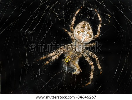 Night image of spider wrapping its victim (wasp) up into the web for further eating. - stock photo