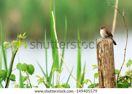 nightingale in the river  - stock photo