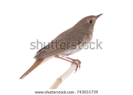 nightingale (Luscinia luscinia) isolated on a white background  in studio shot