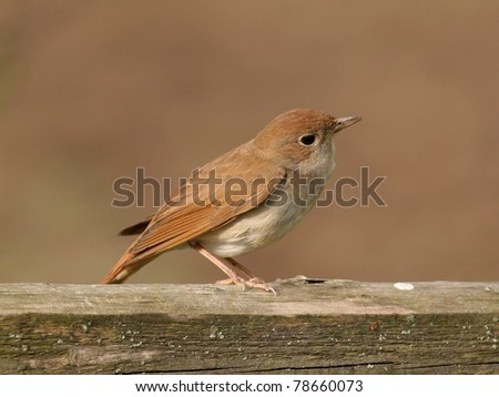 Nightingale perched on wooden bar - stock photo