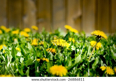 Nightmarish view of a dandelion invasion in a backyard. - stock photo