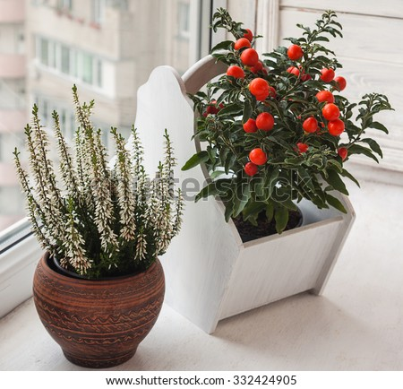 Nightshade (Solanum pseudocapsicum) with red fruits and heather in a ceramic pot on a window - stock photo