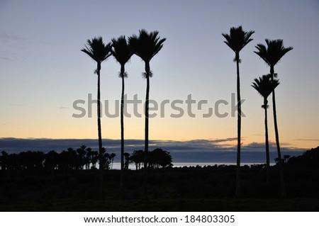 Nikau Palms, Rhopalostylis sapida, in silhouette, West Coast, South Island, New Zealand - stock photo