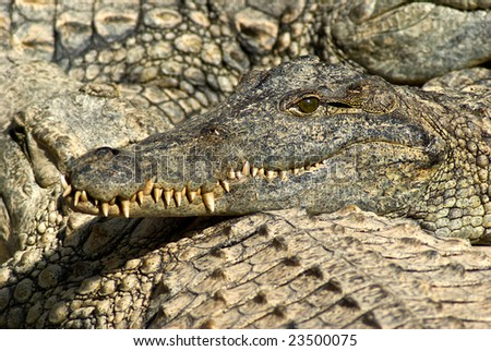 Nile crocodile