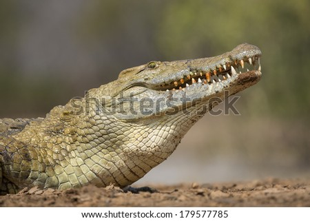 Nile Crocodile at the water edge close up South Africa - stock photo