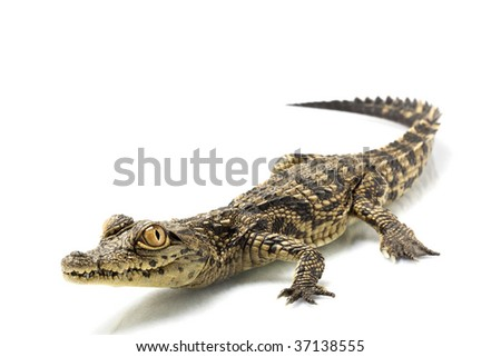 Nile crocodile (Crocodylus niloticus) isolated on white background. - stock photo