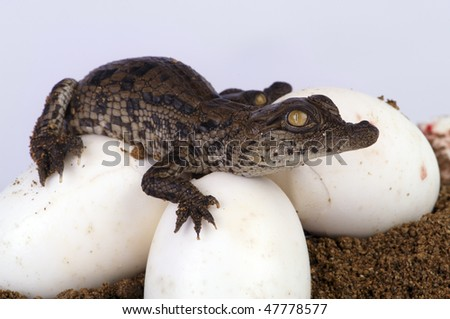 Nile Crocodile Hatching out of the egg