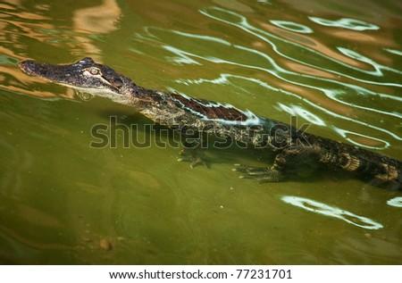 Nile crocodile in ambush - stock photo