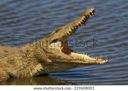 Nile Crocodile on the River Bank with Mouth Open - stock photo