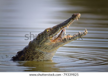 Nile crocodile swallowing a fish; crocodylus niloticus - Kruger National Park - stock photo