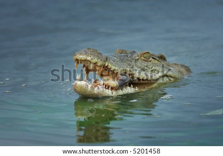 Nile crocodile with fish; crocodylus niloticus; shallow depth of field - stock photo