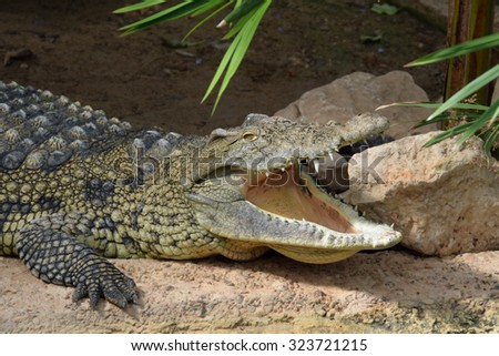 Nile crocodile with open jaws. Wild reptile animal. - stock photo