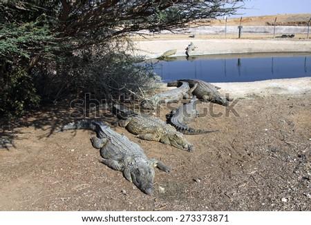 Nile crocodiles lie near the pond on the farm in Israel - stock photo