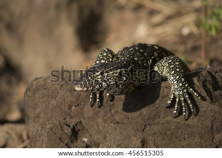 Nile Monitor Lizard on the banks of the Chobe River in early evening - stock photo