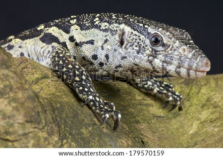 Nile monitor / Varanus niloticus - stock photo