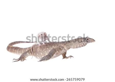 Nile monitor, Varanus niloticus, isolated on white background - stock photo
