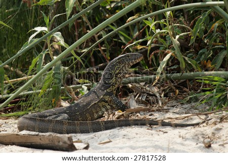 Nile Monitor (Varanus niloticus) on the river bank of the Okavango, Botswana. - stock photo
