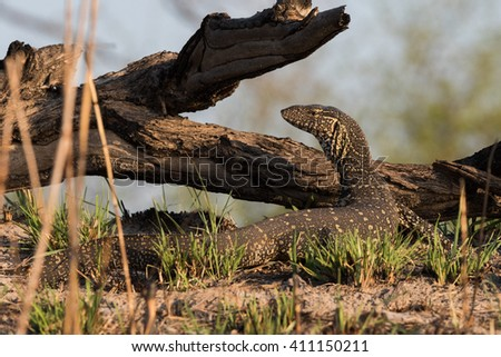 Nile Monitor (Varanus niloticus) walking next to river, Namibia, 2015 - stock photo