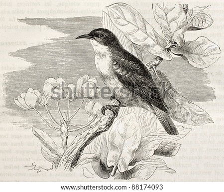 Nile Valley sunbird old illustration (Anthreptes metallicus). Created by Kretschmer, published on Merveilles de la Nature, Bailliere et fils, Paris, ca. 1878 - stock photo