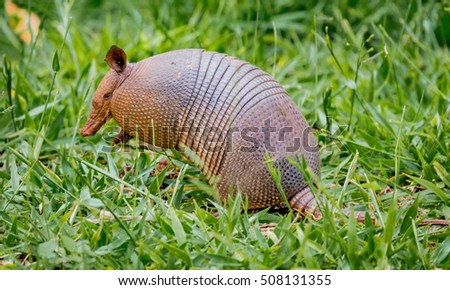 Nine-banded armadillo of Brazil