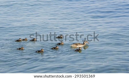Nine little ducklings float for mother - a duck