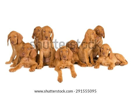 Nine Magyar Vizsla puppies from one nest. Isolated on white. - stock photo