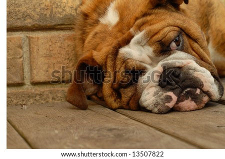 nine month old bulldog sleeping with brick wall background - stock photo