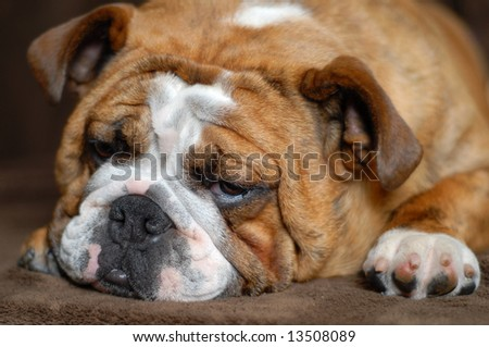 nine month old bulldog studio portrait - champion bloodlines - stock photo