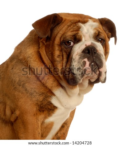 nine month old english bulldog puppy - champion bloodlines - stock photo