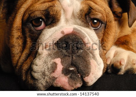 nine month old female bulldog puppy - champion bloodlines - stock photo