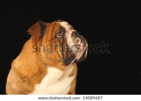 nine month old female bulldog studio portrait - champion bloodlines - stock photo